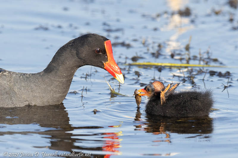 Common Gallinule with Baby
