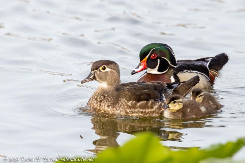 Wood Duck Family Portrait