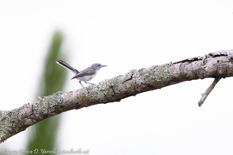 Blue-gray Gnatcatchter