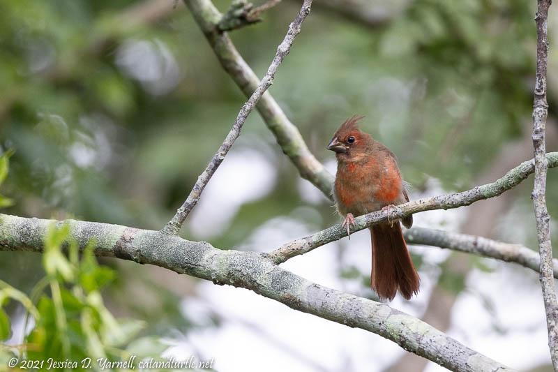 Cardinal (Juvenile Male)