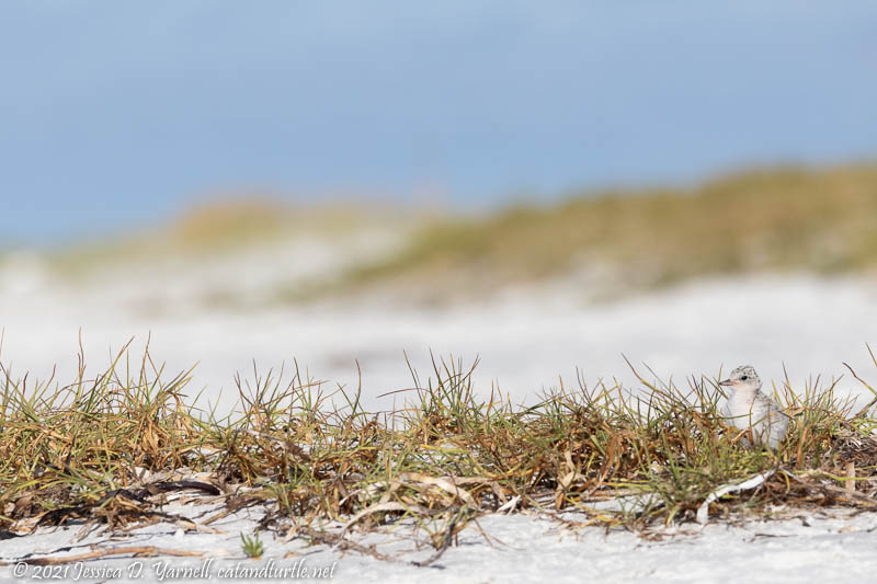 Don't Step on Me!  Least Tern Chick on Beach