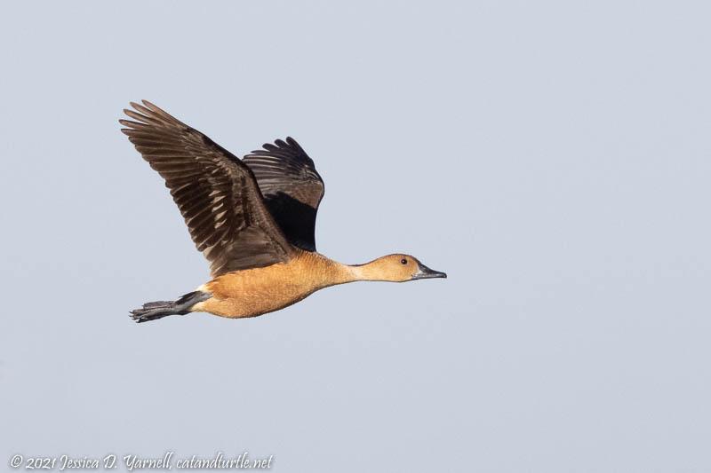 Fulvous Whistling-ducks in Flight