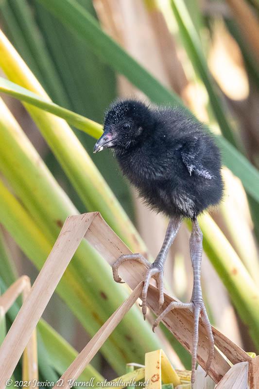 Purple Gallinule Baby
