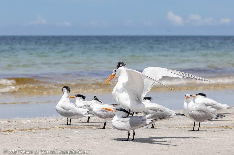 Royal Terns Making More Royals