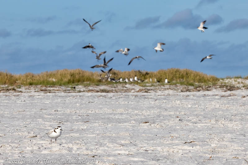 Snowy Plover on Beach with Flock of Laughing Gulls