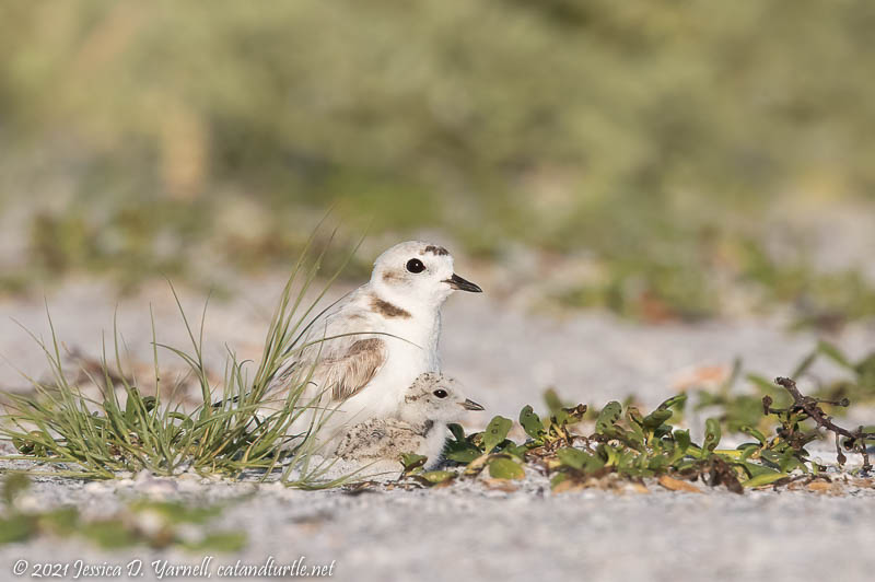 Under my Wing (Snowy Plover Mom and Baby)