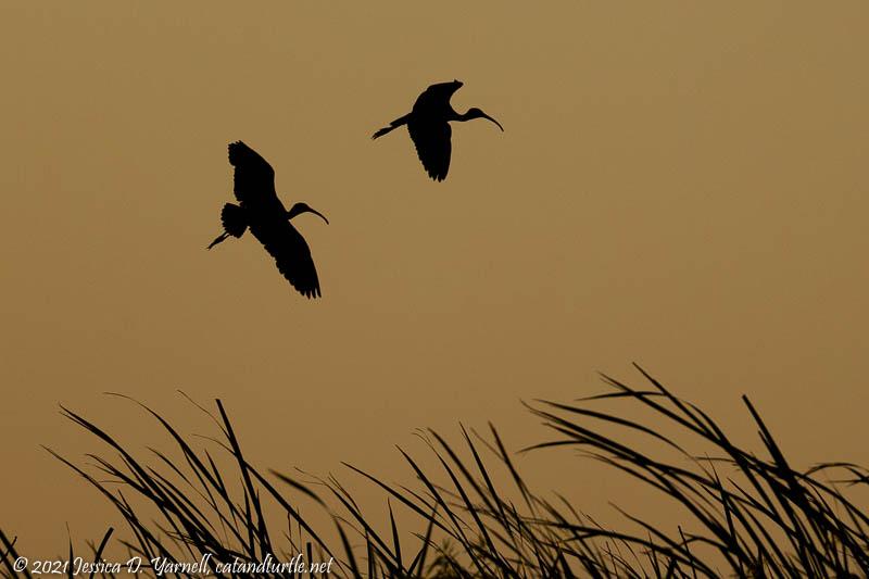 White Ibis Silhouettes at Sunet