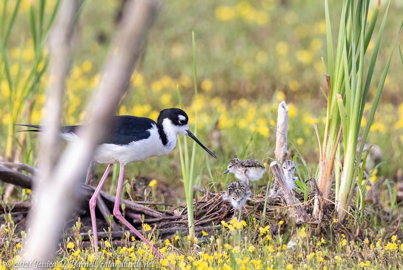 Black-necked Stilt Family at Nest
