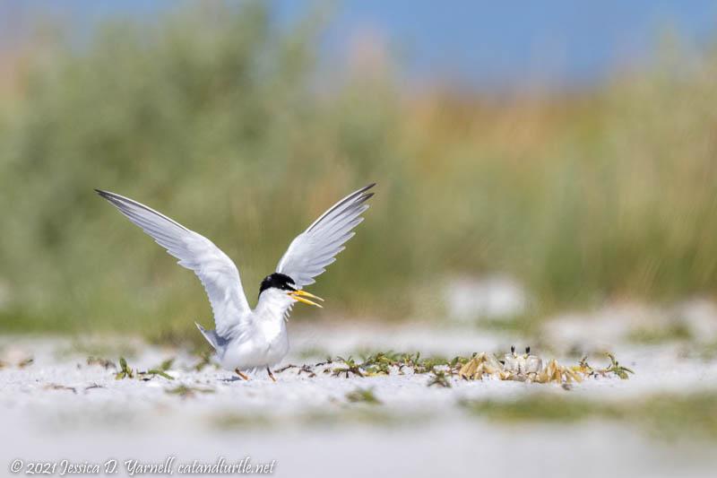Least Tern Chasing Ghost Crab