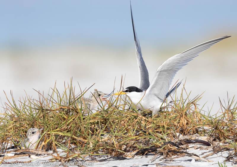 Least Tern Feeding Babies