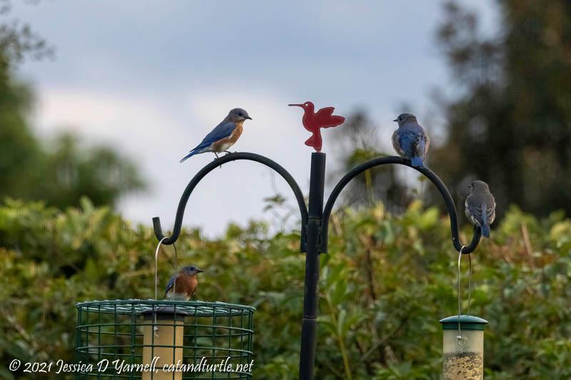 Eastern Bluebirds at Feeder