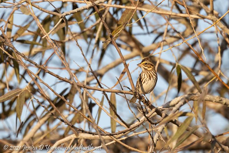 First-of-Fall Savannah Sparrow
