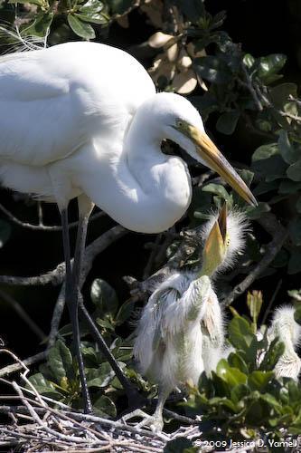 Great Egret Feeding Baby