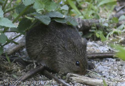 Mouse (Little Scavenger!)