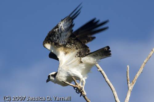 Osprey (Flight)