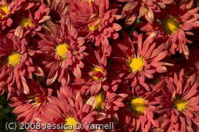 Red Chrysanthemums