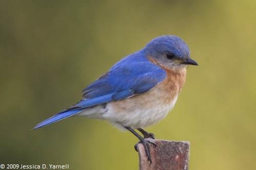 Male Bluebird