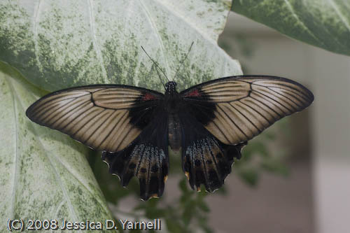 Yellow Mormon