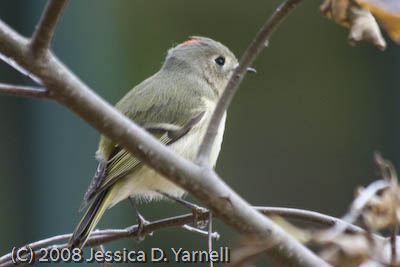 Ruby-Crowned Kinglet (you can see the ruby crown!!)