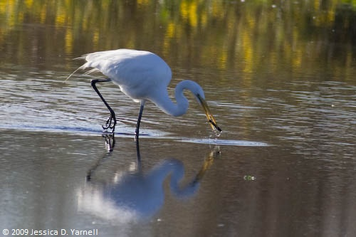 Great Egret (and poor fish)