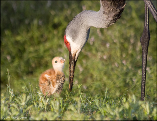 Baby Sandhill Cranes (approx. 1 week old), Circle B Bar Reserve