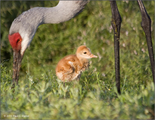 Baby Sandhill Cranes (approx. 1 week old), Circle B Bar Reserve