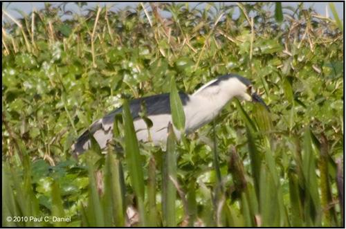 Black-crowned Night Heron, Circle Bar B Reserve