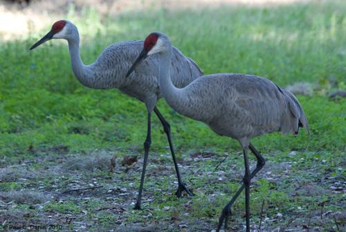 Sandhill Crane, Circle B Bar Reserve