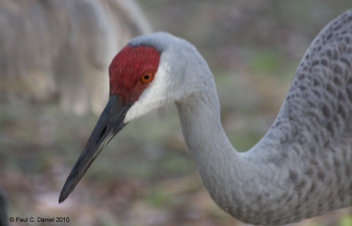Sandhill Crane (up close and personal), Circle B Bar Reserve