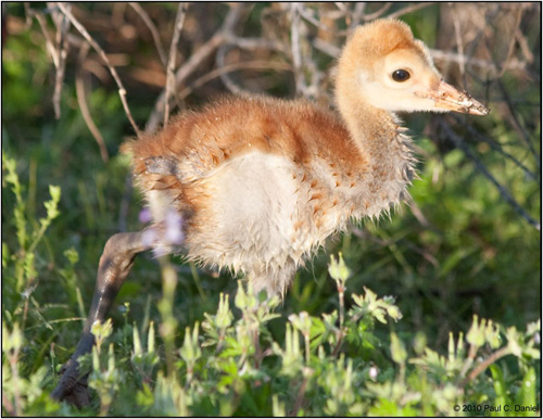 Baby Sandhill Crane (approx. 2 weeks old), Circle B Bar Reserve