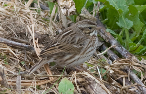 Savannah Sparrow, Circle B Bar Reserve
