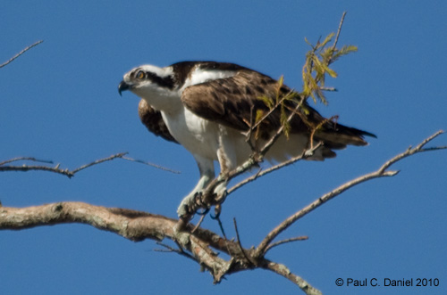 Osprey, Circle B Bar Reserve