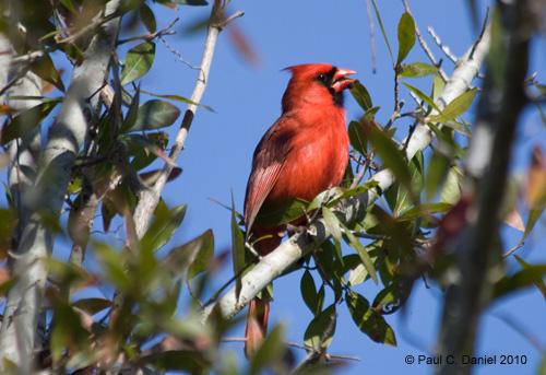 Male Cardinal, Circle B Bar Reserve