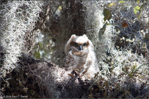Baby Great Horned Owl, Circle B Bar Reserve