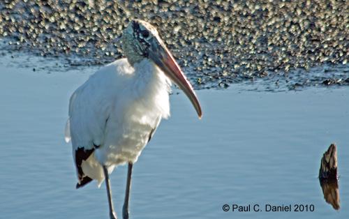 Wood Stork, Circle B Bar Reserve