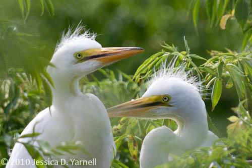 Baby Great Egrets