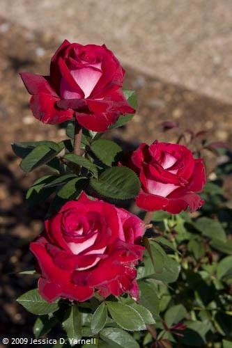 'Ronald Reagan' rose