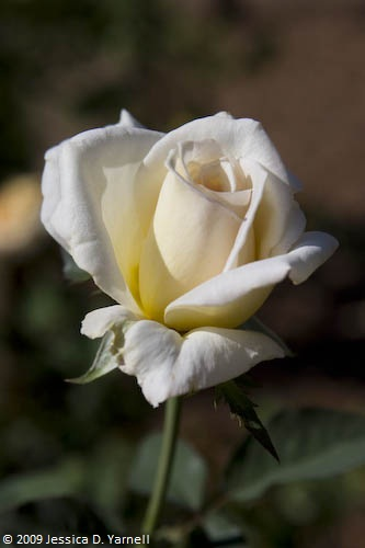 'Lemon Spice' rose