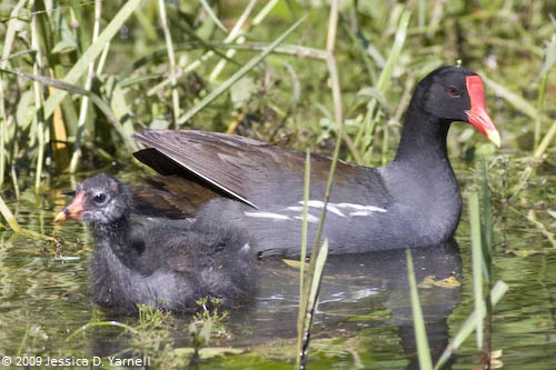 Common Moorhen with baby
