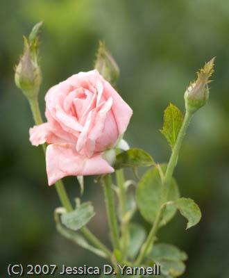 'Queen Elizabeth' rose