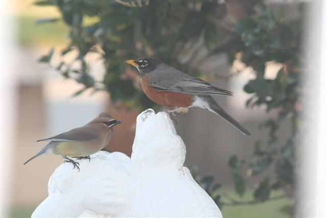 Cedar waxwing and robin