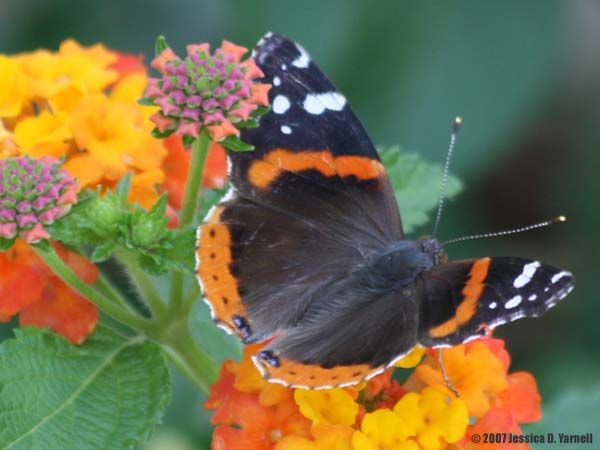 Red Admiral Butterfly from a March 2007 blog entry