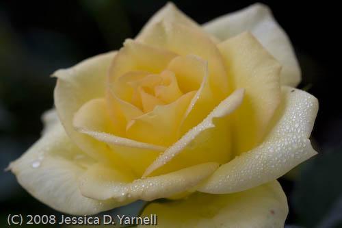 Yellow rose mini