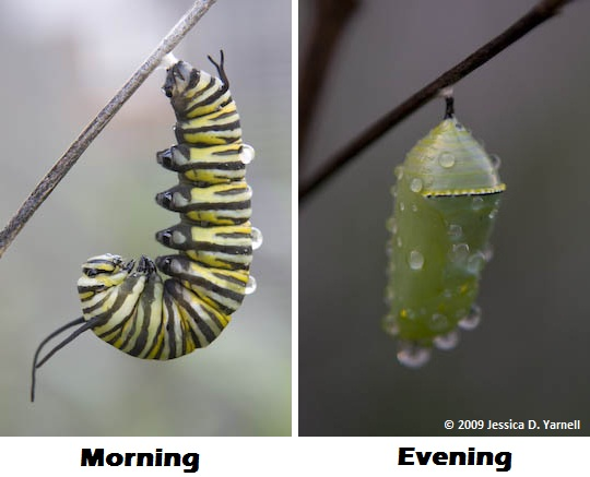 Monarch caterpillar (left) and chrysalis (right)