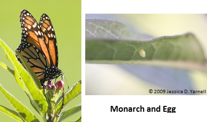 Monarch laying egg (left); eggs (right)