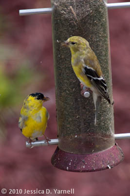 Molting goldfinches