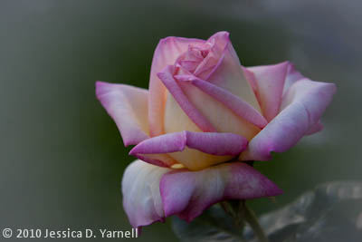 'Peace' rose