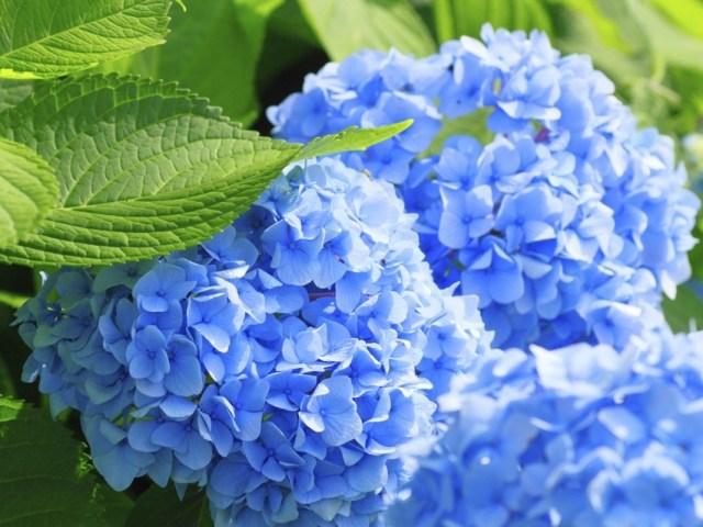 Kako da vaše hortenzije postanu plave