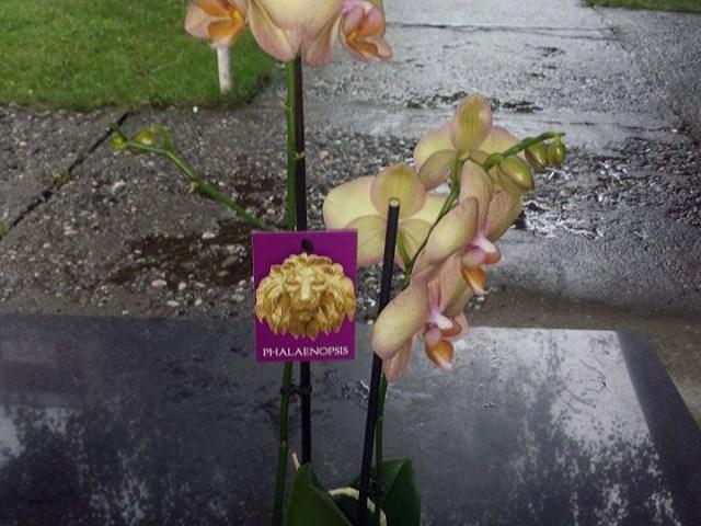 Zeleni kutak vašeg domaćinstva – Phalaenopsis orhideje