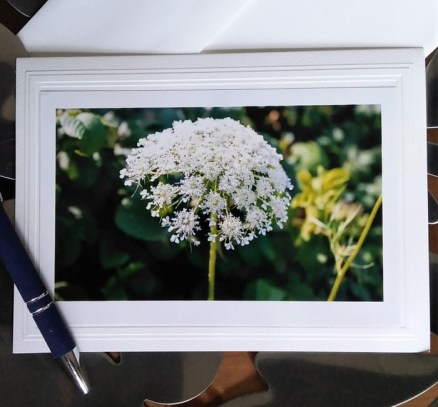 photograph of Queen Anne's Lace by doris lovadina-lee on blank greeting card